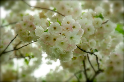 southwestcompass:  Cherry Blossoms • Washington DC