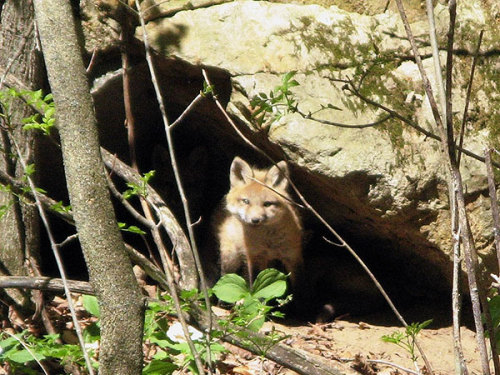 Photo of the Day:Fox kit ventures out of the den in Hannawa Falls. Photo: Laura Cordts
