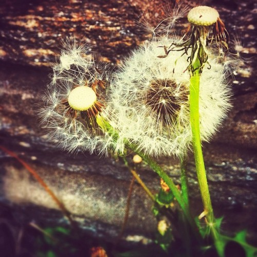 #make #a #wish #dandelion #plants #nature #flower #spring