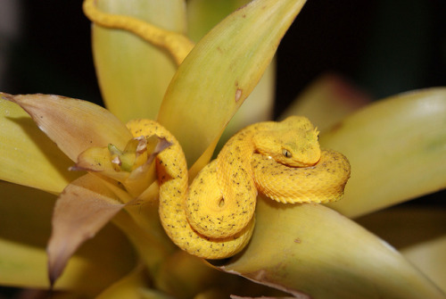 Baby eyelash viper sitting in a flower (by nikoweinbeer)
