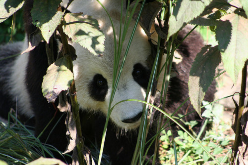 haveueverlovedawoman:  Tai Shan 09050903 by bearlycivilian on Flickr.