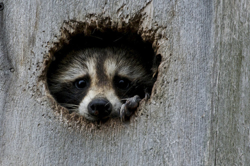 theanimalblog:  Raccoon. Photo by Norbert1948  What a face. These animals are amazing.
