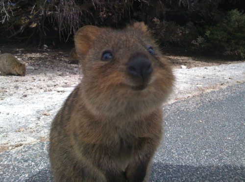 This animal is called a Quokka and it is the happiest thing on the planet.