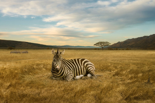Zebra. Photo by Ross Brown