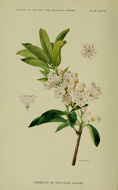 jomobimo:  Mountain Laurel, Wild Plants Needing Protection, 1912