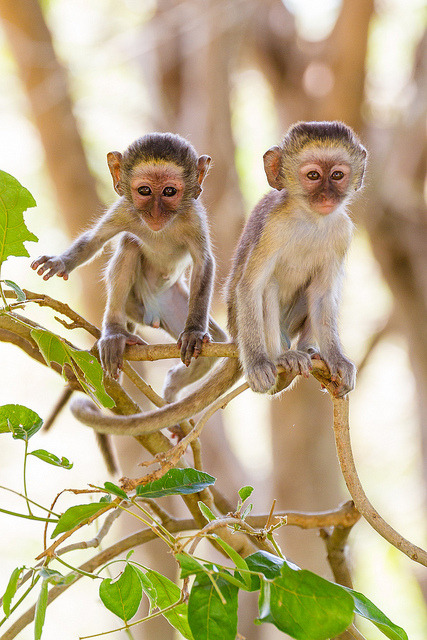 Monkeys playing in the trees near Shingwedzi, Kruger National Park. Macacos a brincar nas árvores, perto de Shingwedzi, Parque Nacional Kruger. Photo copyright: Marie and Alistair Knock aka Taraji Blue