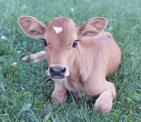 thesimpleactofveganism:  Cows are possibly one of the most beautiful species on the planet. Their faces are absolutely gorgeous.