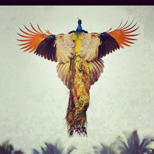 The #peacock in #flight #looks like the #ancient #sacred #FireBird of #light… The #Phoenix. #iamphoenix