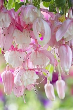 flowersgardenlove:  fuschia Flowers Garden Love