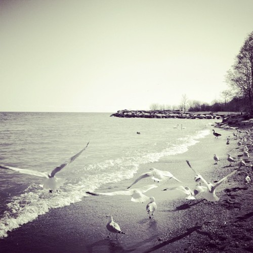 Seagulls on the beach #nature #fly #cool #outside #ontario #canada