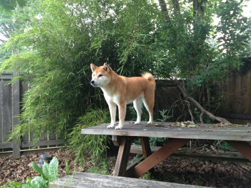 misakisworld:  Surveying my domain from the top of Mom and Dad's picnic table. Gotta get some height somehow so I can look down on things.