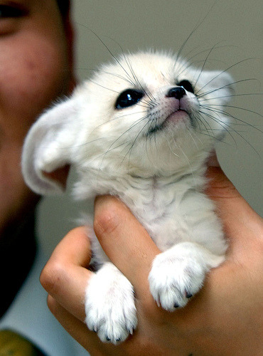 the-absolute-funniest-posts:  fuckyeahbabyanimals: This baby fennec fox is way too much to handle here..   My lovely followers, please follow this blog immediately!