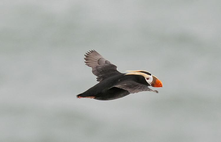 The charismatic tufted puffin (Fratercula cirrhata) flies the open ocean and coastal waters of the north Pacific of North America. With black and white coloring, and a distinctive orange bill, with plumes of yellow falling over its head and neck, the puffin certainly looks regal. The tufted puffin can hold up to 20 fish at a time in its bill in order to bring food back to chicks! Read more about seabirds from the Ocean Portal. Photo Credit: Glen Tepke/Marine Photobank