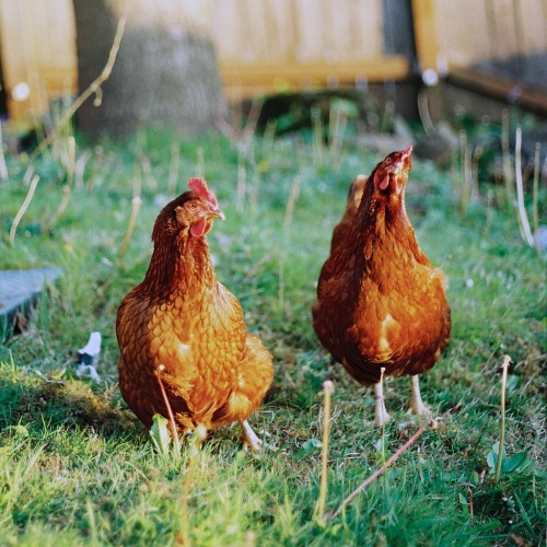 michaelzhao:  Backyard chickens