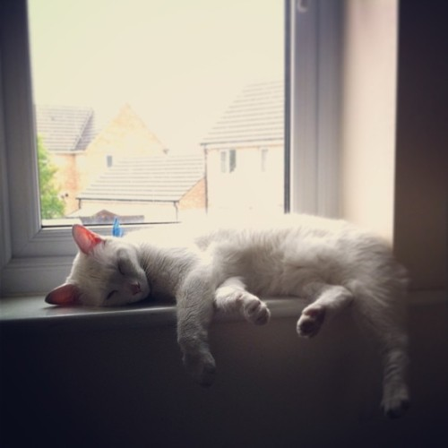 It's a hard life for Dave - #davethecat #whitecat #cat #sleepy #tired #lazy #moggy