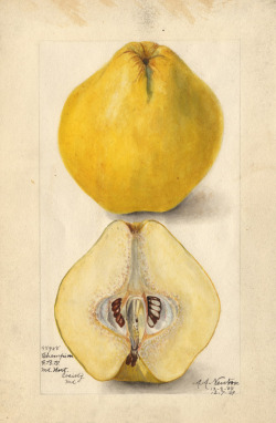 heaveninawildflower:  Champion quince (Cydonia oblonga) Watercolour by Amanda A. Newton (12/03/1909) From: http://www.ars-grin.gov/cor/pwc/cydonia-art.html United States Department of Agriculture Wikimedia.
