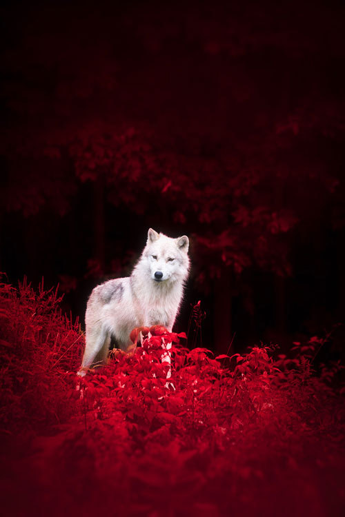 """plasmatics-life: Wolf in Wonderland by Dustin Abbott  """"We have doomed the wolf not for what it is, but for what we deliberately and mistakenly perceive it to be –the mythologized epitome of a savage ruthless killer – which is, in reality, no more than a reflected image of ourself.""""   ~Farley Mowat,  Never Cry Wolf"""
