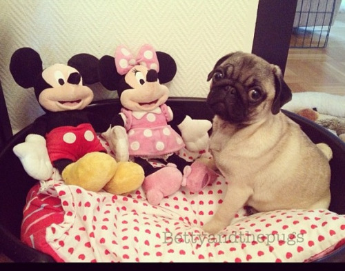 fortheloveofpug:  @bettyandthepugs