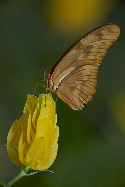 Butterflies have a long tube-like tongue called a proboscis, which works like a straw. It stays coiled up when not in use.