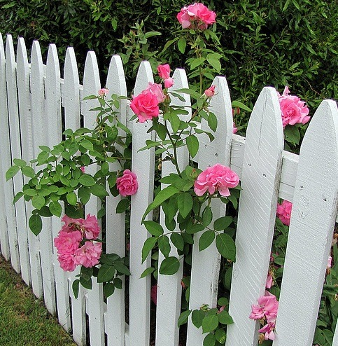 sad-babygirl:  my future house WILL have a white picket fence with pink and yellow roses!