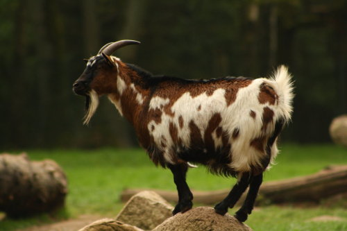 animals-animals-animals:  Pygmy Goat (by DarkTara)