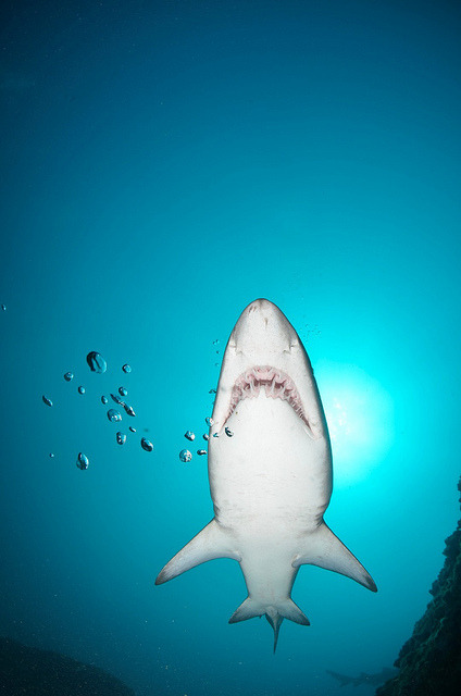 thelovelyseas:  161 (Large) by AussieByron on Flickr.  Shark!