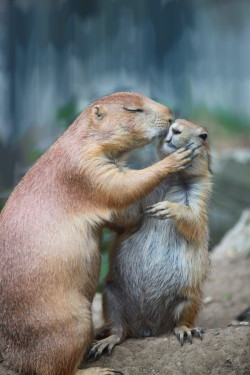 vurtual:  (by Tina Nicole)  i was so happy to see lots of prairie dogs while in Denver (none getting all affectionate like this, though).