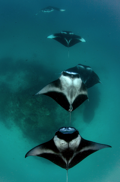 thelovelyseas:  Manta Train