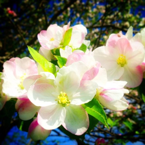 My apple trees have finally blossomed. They are just beautiful…like spring.