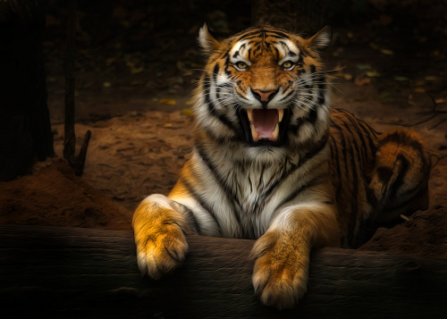 llbwwb:  For the tiger livers:) by Sonja Probst.