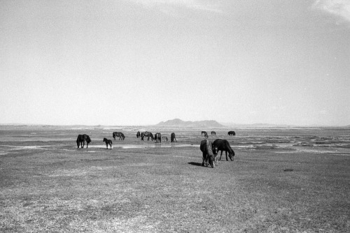 lensblr-network:  Horses on the Mongolian Steppe Taken in May 2011 just when the brown landscape was blooming green. These guys are part of a nomad's herd and are not zerleg aduu (wild horses). by Kevin Vanier  (kevin-vanier.tumblr.com)