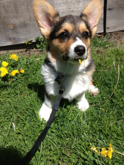 picathecorgi:  Dandelion destroyer