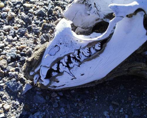crabeater seal skull, teeth specialized for krill (via coplateau.com)
