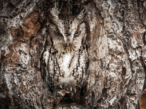 teremtettvilag:  Photo and caption by Graham McGeorge Masters of disguise. The Eastern Screech Owl is seen here doing what they do best. You better have a sharp eye to spot these little birds of prey. Location: Okefenokee Swamp, Georgia, USA