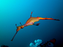 A Weedy Sea Dragon by billunder on Flickr.