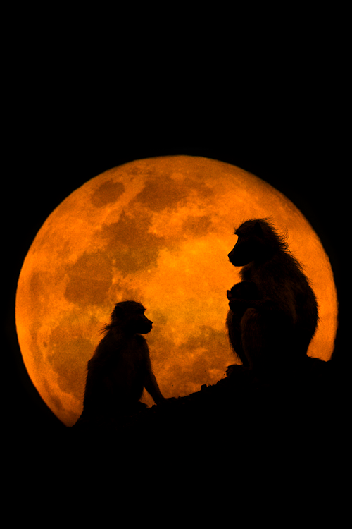 vurtual:  The Baboons & The Moon (by Mario Moreno)