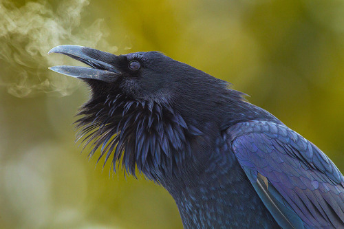 earthandanimals:  Raven's breath. Photo by Junctionbutte