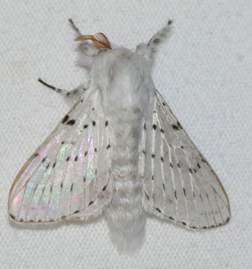 uglylilgirl:  wingedfawn: Artace cribrarius (Dot-lined White moth)