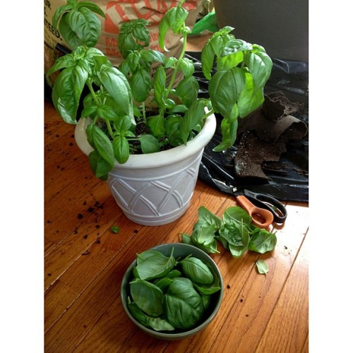It is absolutely a gorgeous day to to dig in dirt. #Basil #foodspotting  (at Sow a Seed)