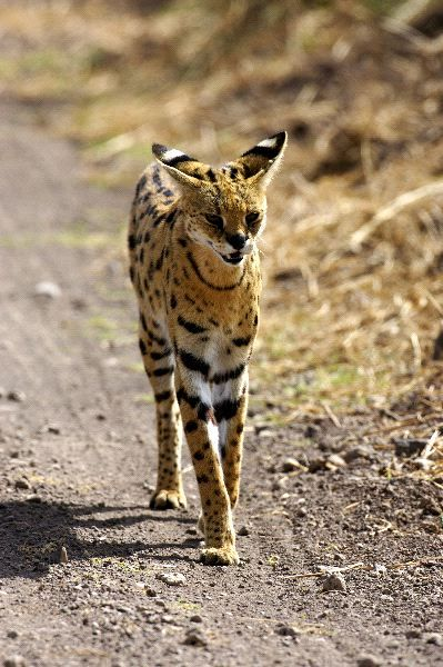 anythingfeline:  Wild Serval Cat