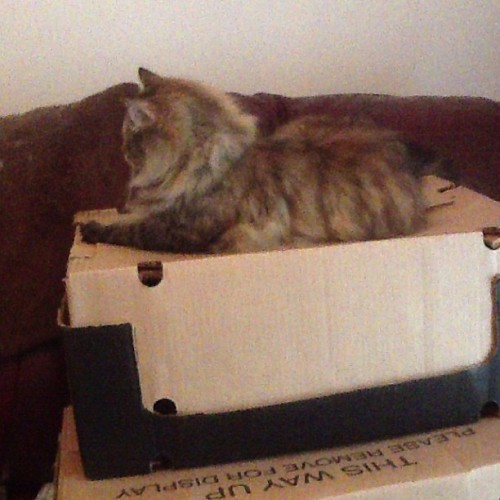 And seconds later, Fizz has discovered my boxes… #cats