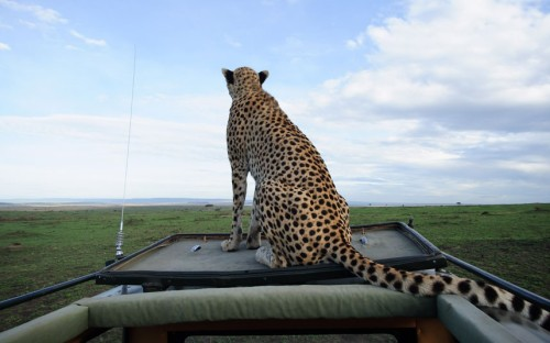 allcreatures:   A female cheetah sits on the roof of a jeep in Maasai Mara, Kenya to use the Land Cruiser as a look-out post. They climb the highest point available, usually a termite mound, to spot their prey, but this clever cheetah was so determined to find food for her cubs that she thought nothing of jumping onto a moving Land Cruiser. Photographer David Lloyd was capturing wildlife in the Masai Mara game reserve in Kenya when he picked up the unexpected hitch-hiker.  Picture: David Lloyd / Barcroft Media (via Animal pictures of the week: 18 January 2013 - Telegraph)  Seems like they do this all the time. They did on Big Cat Diary anyway (also on masai mara) and that was filmed years ago. I loved that show and 2 of the hosts were amazing. Usually the cheetah guy and the leopard lady. Once a cheetah did this to the host guy (rather than the camera jeep) and then it peed in the sunroof. CHEETAHS!!! They really are the silliest of the big cats. But so smart. I love big cats. I might have hung out with wolves yesterday, but a cheetah on my roof would be freaking cool as well.