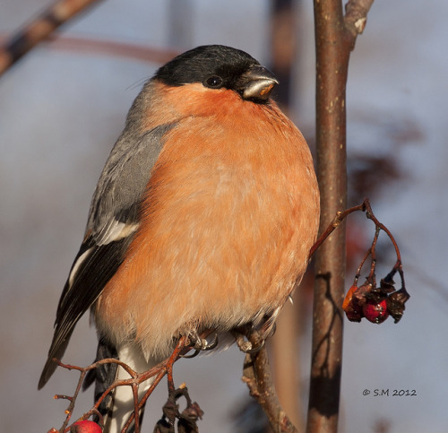 fat-birds:  Bullfinch (male) by Glesgastef on Flickr.  Someone looks high and mighty on his little branch~