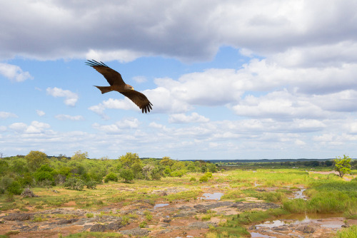An eagle soars over the Kruger park landscape below, near Olifants. Uma águia sobrevoa o parque Kruger, perto de Olifants. Photo copyright: Marie and Alistair Knock aka Taraji Blue