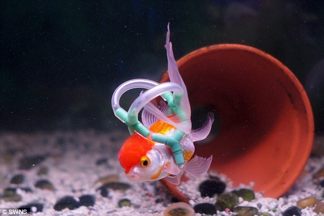 malformalady:  This goldfish, named Einstein, suffers from swim bladder disease. The ailment, which is common in aquarium fish and controls their buoyancy, caused him to turn upside down and sink to the bottom of the tank. But now things are looking up, after his owner Leighton Naylor, 32, from Blackpool, made him his very own life jacket so Einstein can maintain buoyancy.