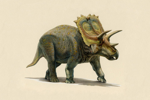 Anchiceratops (Anchiceratops ornatus)(pronounced anky-sair-a-tops)Meaning: near horn face (originally thought to be closely related to the Centrosaurus) Type: dinosaur, ceratopsianDiet: herbivorousPeriod: late CretaceousLocation: Alberta, CanadaLength: 4.5-6m (15-20ft)Height: 2.6m (9ft)Weight: 2470kg (5400lb) Dinosaurs: 239