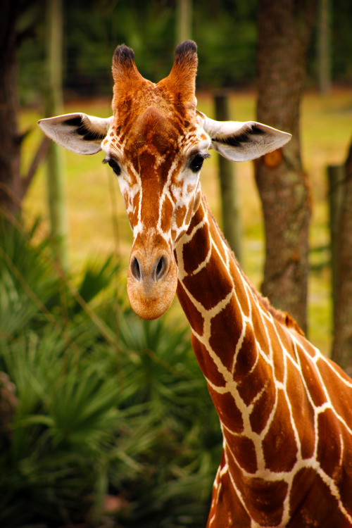 earthandanimals:  Masai Giraffe. *This is my own photography.*