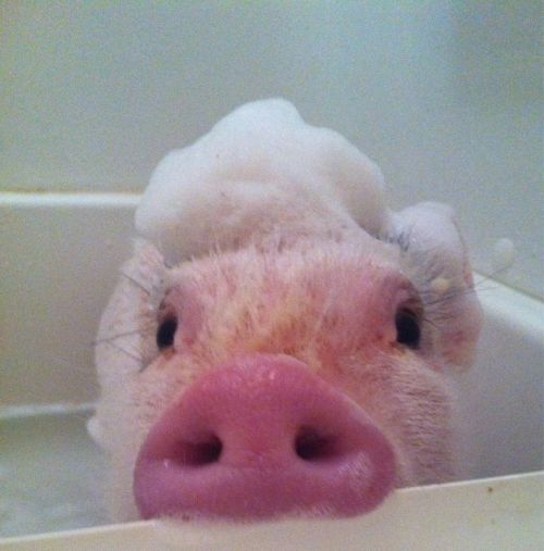 awwww-cute:  In honor of my cake day, here is a pig in a tub