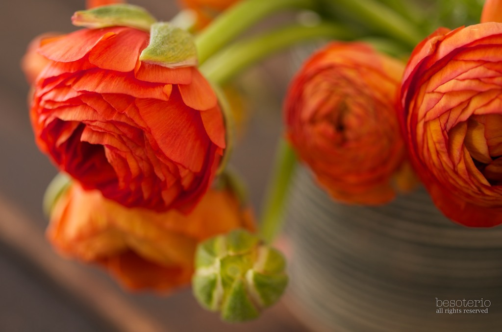 as newbie gardner, i love ranunculus flowers. i love them even more as a newbie photographer.