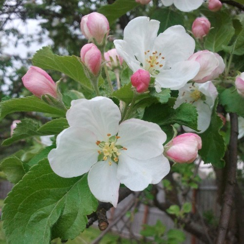 The apple tree is blossoming!